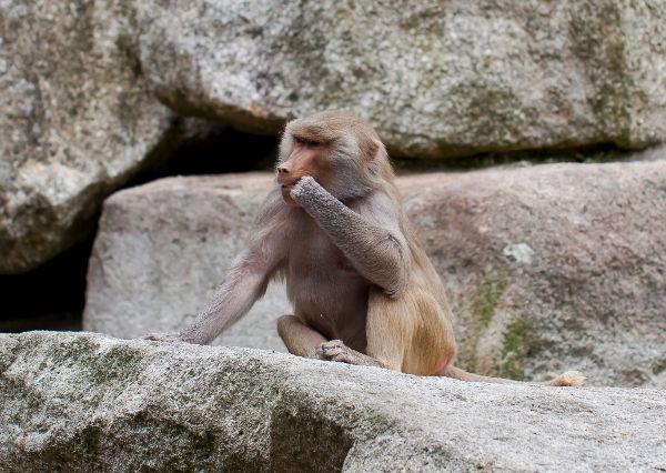 ¿Un mono? ¿Por qué un mono?